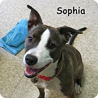 Boxer/Labrador Retriever Mix Dog for adoption in Warren, Pennsylvania - Sophia