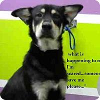 Adopt A Pet :: Moose - Dripping Springs, TX