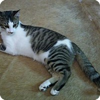 Domestic Shorthair Cat for adoption in San Antonio, Texas - Jasper