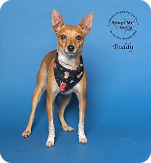Basenji/Terrier (Unknown Type, Small) Mix Dog for adoption in Houston, Texas - Buddy