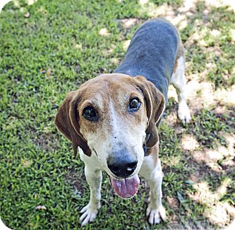 Treeing Walker Coonhound Mix Dog for adoption in Youngsville, North Carolina - George Clooney