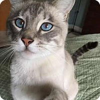 Siamese Cat for adoption in Davis, California - Teeko