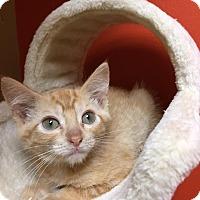 Domestic Shorthair Kitten for adoption in Maryville, Missouri - June