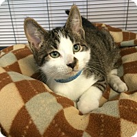 Domestic Shorthair Kitten for adoption in University Park, Illinois - Sid