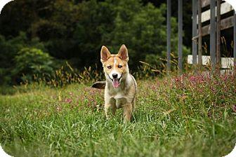Siberian Husky/Pomeranian Mix Puppy for adoption in Newark, Delaware - Kai