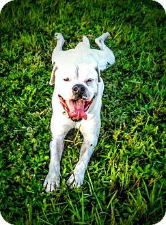 American Bulldog Mix Puppy for adoption in Miami, Florida - Whitey