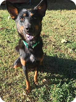 Australian Cattle Dog Mix Dog for adoption in Mooresville, North Carolina - Hariette