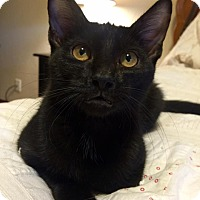 Domestic Shorthair Kitten for adoption in Edmond, Oklahoma - Vito