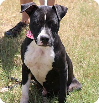American Staffordshire Terrier/Labrador Retriever Mix Puppy for adoption in Lacey, Washington - Royce