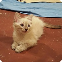 Adopt A Pet :: Haven - San Tan Valley, AZ