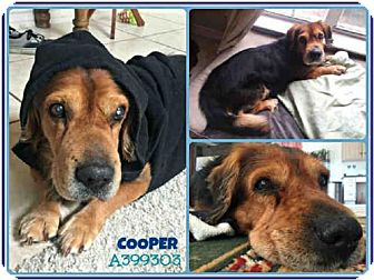 Basset Hound Mix Dog for adoption in San Antonio, Texas - COOPER