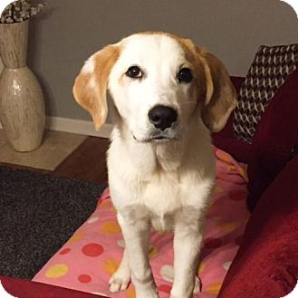 St. Bernard/Great Pyrenees Mix Dog for adoption in Livonia, Michigan - Rupert - APPLICATIONS CLOSED