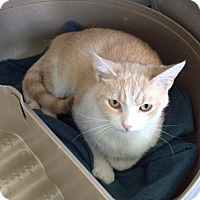 Adopt A Pet :: Dreamsicle - Greensburg, PA