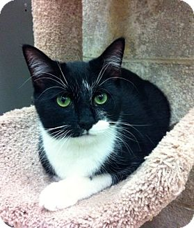 Domestic Shorthair Kitten for adoption in Warminster, Pennsylvania - Lane