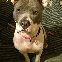 American Staffordshire Terrier Mix Dog for adoption in Toluca Lake, California - Marilynn Monroe