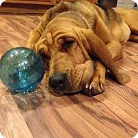 Adopt A Pet :: Sadie Bell - St, Augustine, FL