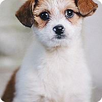 Adopt A Pet :: Geena - Portland, OR