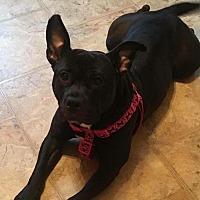 Staffordshire Bull Terrier/Pit Bull Terrier Mix Dog for adoption in Rochester, New York - Lola