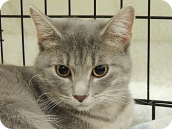 Domestic Shorthair Cat for adoption in Franklin, Tennessee - ABBY