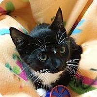Adopt A Pet :: Polly - Berlin, CT