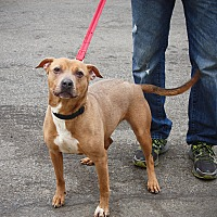 Pit Bull Terrier Mix Dog for adoption in Bronx, New York - Myra