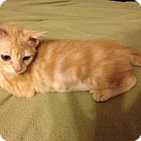 Adopt A Pet :: Punkin - Plano, TX