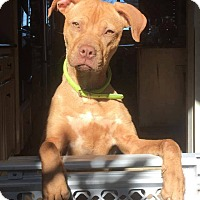 Staffordshire Bull Terrier Mix Dog for adoption in Pearland, Texas - Jojo