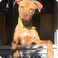 Adopt A Pet :: Jojo - Pearland, TX