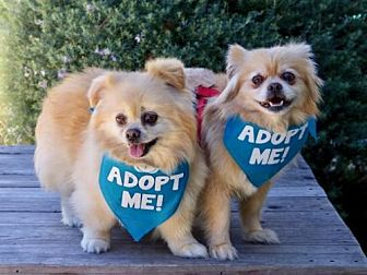 Pekingese/Pomeranian Mix Dog for adoption in Pacific Grove, California - Goliath