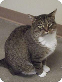 Domestic Mediumhair Cat for adoption in Cheboygan, Michigan - 20384