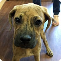 Boxer Mix Puppy for adoption in Memphis, Tennessee - Filbert