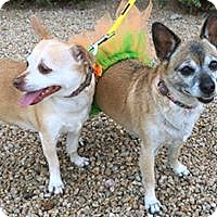 Chihuahua Mix Dog for adoption in Phoenix, Arizona - Roxy & Riley