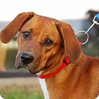 Redbone Coonhound Mix Dog for adoption in Coeburn, Virginia - Mercy