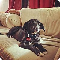 Adopt A Pet :: Lacey - Salamanca, NY