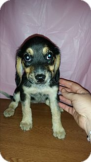 Beagle/Basset Hound Mix Puppy for adoption in Baltimore, Maryland - Bailey URGENT$225