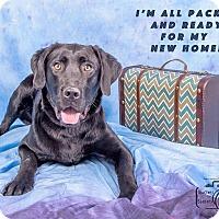 Labrador Retriever Mix Dog for adoption in Denver, Colorado - Brock
