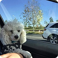 Poodle (Toy or Tea Cup) Mix Dog for adoption in Fountain Valley, California - Prince