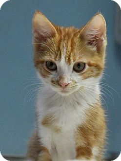 Domestic Shorthair Kitten for adoption in Tomball, Texas - Jack
