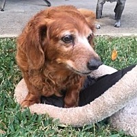 Dachshund Dog for adoption in Pearland, Texas - Rusty