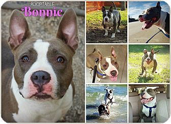 American Pit Bull Terrier/American Staffordshire Terrier Mix Dog for adoption in Orlando, Florida - Bonnie