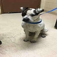 Adopt A Pet :: LILLY - Rogers, AR