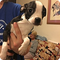Adopt A Pet :: Boston mix male puppies - Va Beach, VA