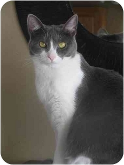 Domestic Shorthair Cat for adoption in Xenia, Ohio - Fiona