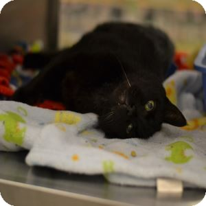 Manx Cat for adoption in Gilbert, Arizona - Mink