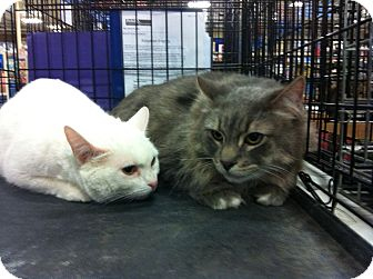Domestic Shorthair Cat for adoption in Pittstown, New Jersey - Snowball