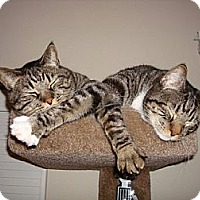 Adopt A Pet :: Gromit&Wallace - Laguna Woods, CA