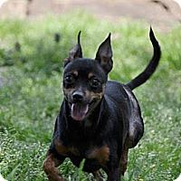 Adopt A Pet :: Honeybun - Huntersville, NC