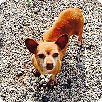 Adopt A Pet :: Cuddles - Sacramento, CA