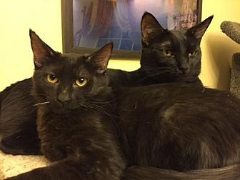 Domestic Shorthair Kitten for adoption in Glendale, Arizona - Shaq Attack