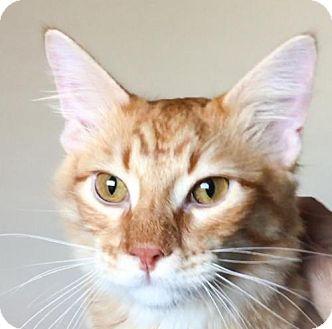 Domestic Mediumhair Kitten for adoption in McKinney, Texas - Armani (aka Mac)